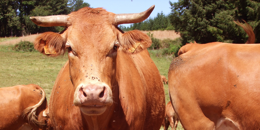 Limousin cow, the reddish-brown cattle